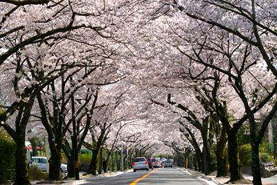 「第40回 伊豆高原桜まつり」