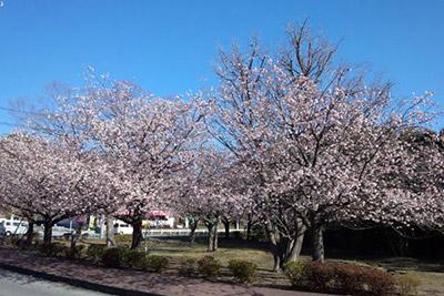 第40回 伊豆高原桜まつり